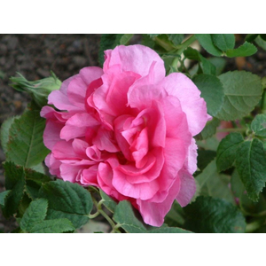Rosa Empress Joséphine