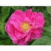 Rosa gallica officinalis 1