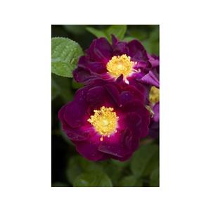 Rosa Gallica Violacea (la Belle Sultane)