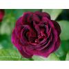 Rosa tuscany