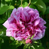 Rosa andrea gabrieli