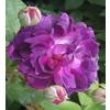 Rosa le rosier %c3%a9veque