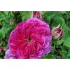 Rosa duc de cambridge