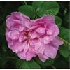 Rosa kazanlik