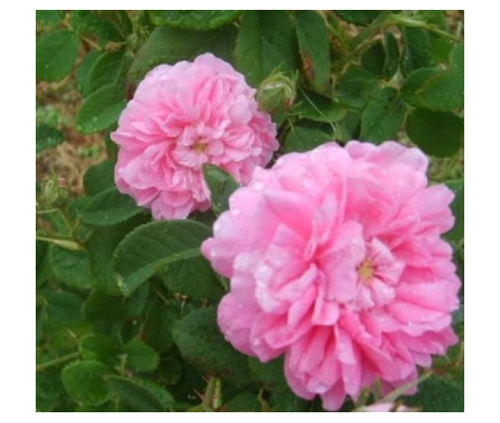 Rosa Gloire de Guilan