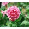 Rosa bullata