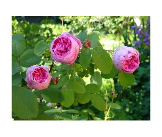 Rosa x Centifolia