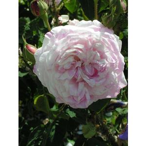 Rosa Unique Panachée