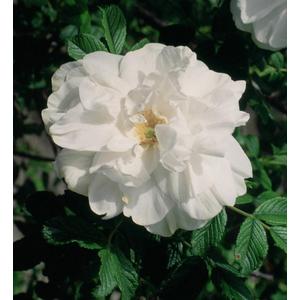 Rosa Blanc de Vibert