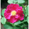Rosa portland rose