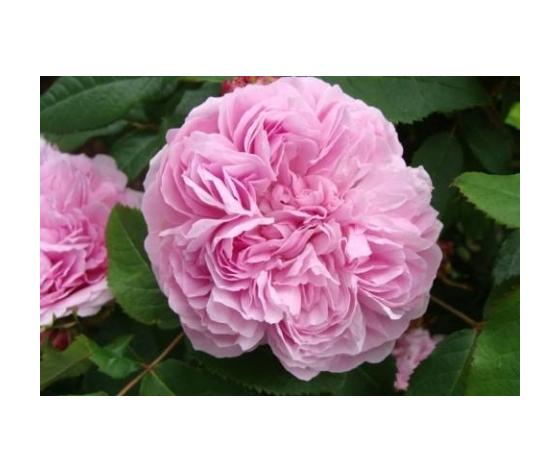 Rosa Jacques Cartier