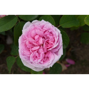 Rosa Madame Boll