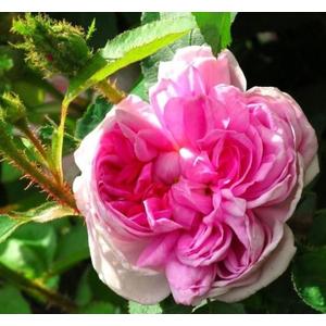 Rosa René d'Anjou