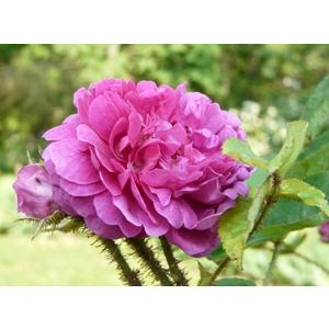 Rosa Gloire des Mousseuses