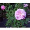 Rosa old blush