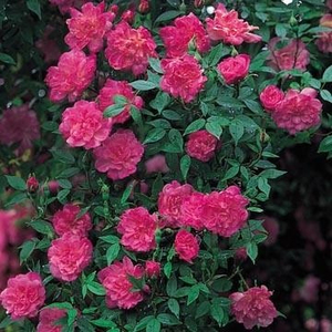 Rosa Pompon de Paris