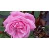 Rosa hermosa