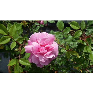 Rosa Bengala Communis o Rosa chinensis Indica