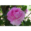 Rosa blairi n%c2%b02