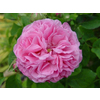 Rosa gros choux de hollande