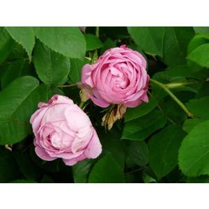 Rosa Coupe d'Hebé