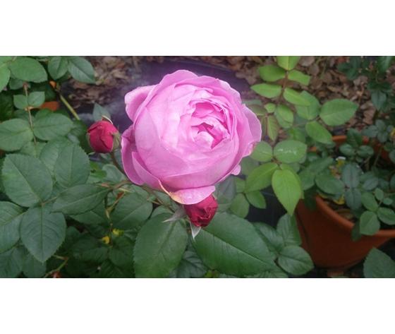 Rosa La Reine Victoria