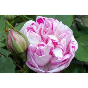 Rosa Honorine de Brabant