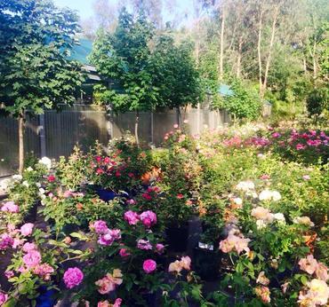 Rose francesi vivaio taroni