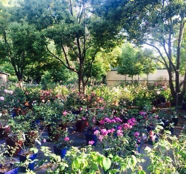 Rose antiche vivaio taroni