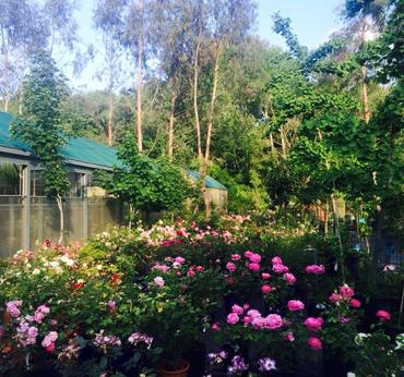 Rose rare vivaio taroni