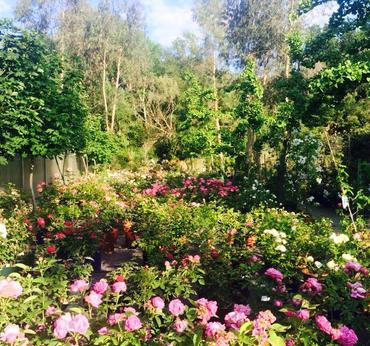 Vendita rose vivaio taroni