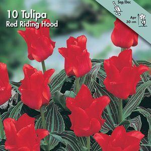 Tulipano Red Riding Hood 1pz