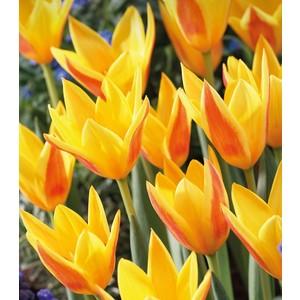 Bulbo tulipano Giuseppe Verdi 1pz.