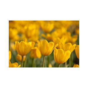 Bulbo tulipano doppio Monsella 1pz