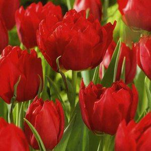 Bulbo tulipano doppio Abba 1pz