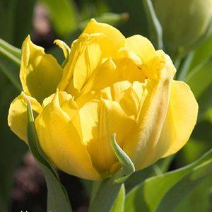 Bulbo tulipano doppio Monte Carlo 1pz