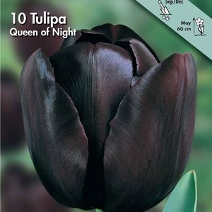 Bulbo tulipano Queen of Night 1pz