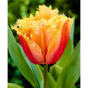 Bulbo tulipano crispa Lambada 1pz