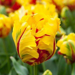 Bulbo tulipano Pappagallo Texas Flame 1pz