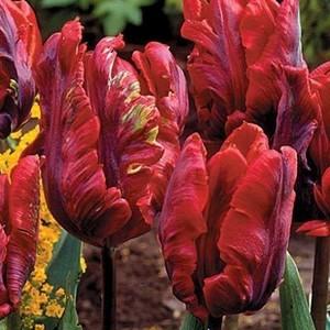 Bulbo tulipano pappagallo Rococo 1pz