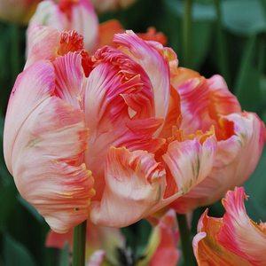 Bulbo tulipano pappagallo Apricot Parrot 1pz