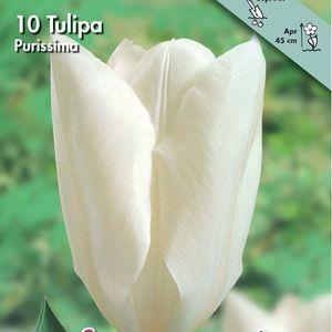 Bulbo tulipano Purissima 1pz