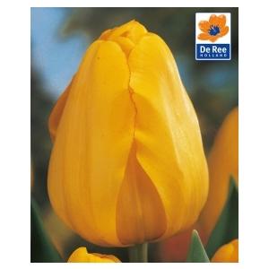 Bulbo tulipano Beauty of Apeldoorn 1pz