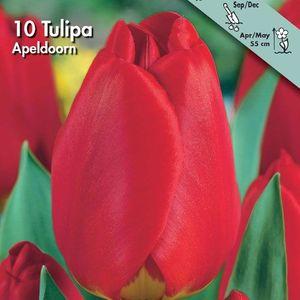 Bulbo tulipano Apeldoorn 1pz