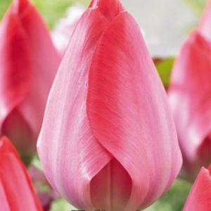 Bulbo tulipano Van Eijk 1pz