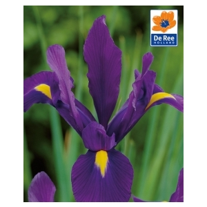 Bulbo Iris Purple Sensation 1pz