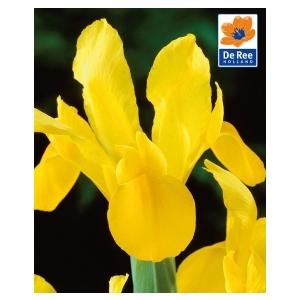 Bulbo Iris Royal yellow 1pz