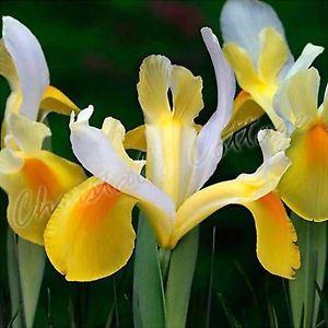 Bulbo Iris Symphony 1pz