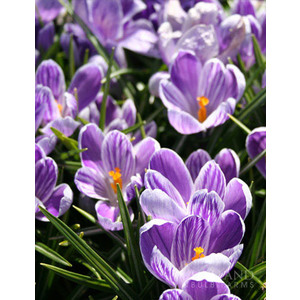 Bulbo Crocus King of the Striped 1pz