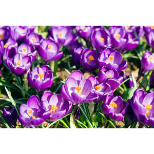 Bulbo Crocus Flower Record 1pz